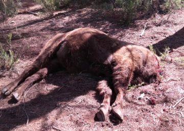 El Seprona encuentra veneno en la reserva del bisonte decapitado