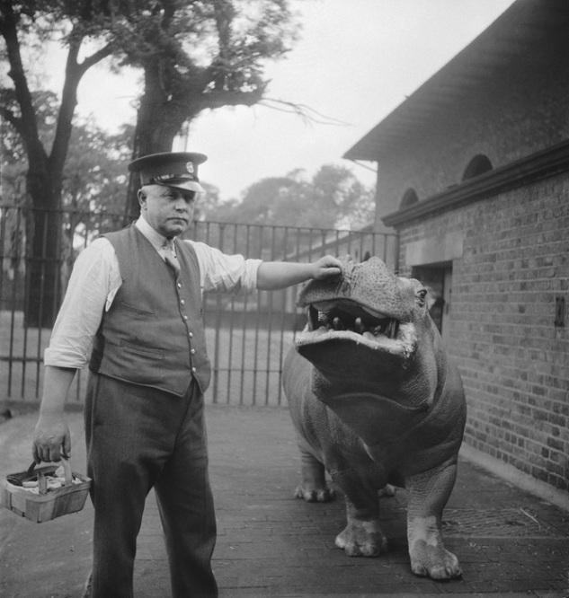 Cuidador del Zoo Ernie Bowman e hipopótamo