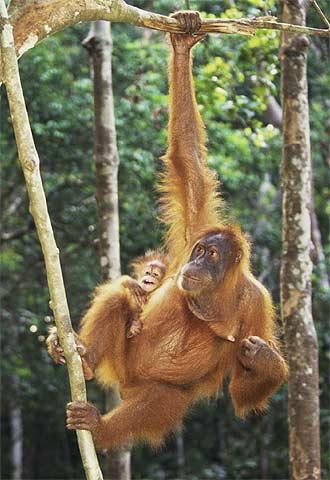 Un orangután en la selva