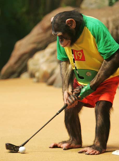 Chimpance_espectaculo.jpg