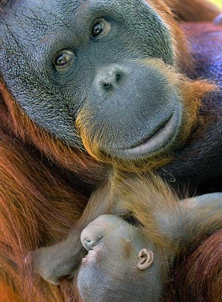 Una orangután y su cría