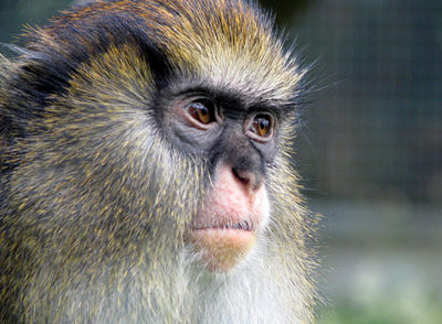 El habla de los monos