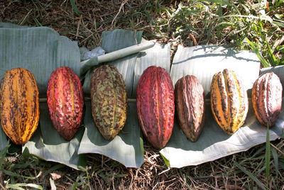 Habas de cacao orgánico