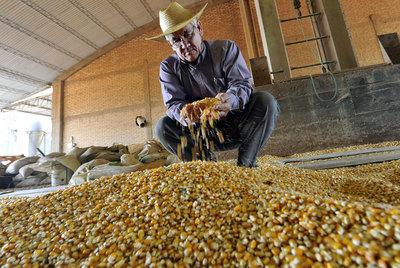Un agricultor examina maíz transgénico