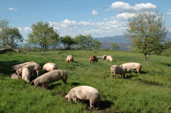 Cerdos libertad