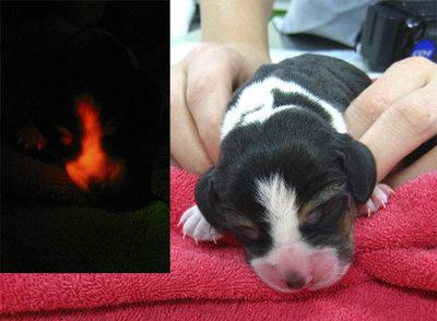 Perro fosforecente Ruppy_perro_brilla_oscuridad