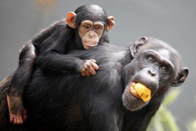 http://www.elpais.com/recorte/20100126elpepuage_3/LCO340/Ies/Cine_hecho_chimpances.jpg