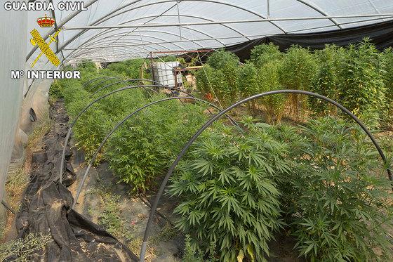 Dos detenidos por tener una plantaci n de marihuana en pedrezuela actualidad el pa s - Plantaciones de marihuana interior ...