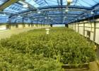"""Sabe a fresa"": así se prueban derivados de la marihuana contra la epilepsia infantil"