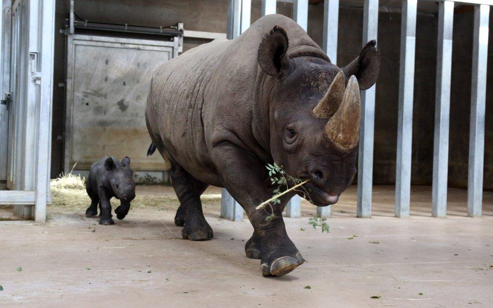 Un bebé rinoceronte recién nacido camina tras su madre, en un zoológico de Des Moines, Iowa (Estados Unidos).