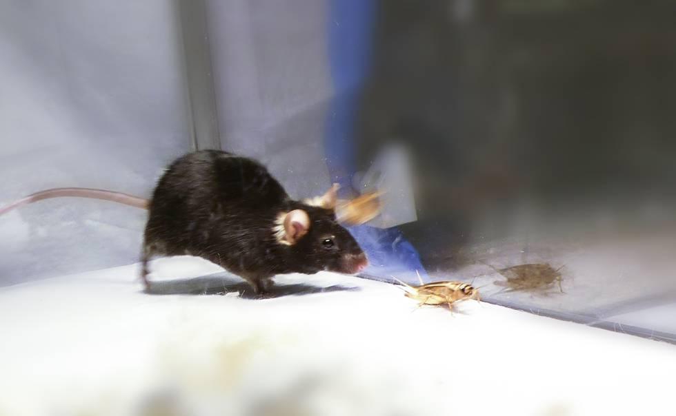 Un grupo de científicos logra desactivar el 'instinto asesino' dentro del cerebro