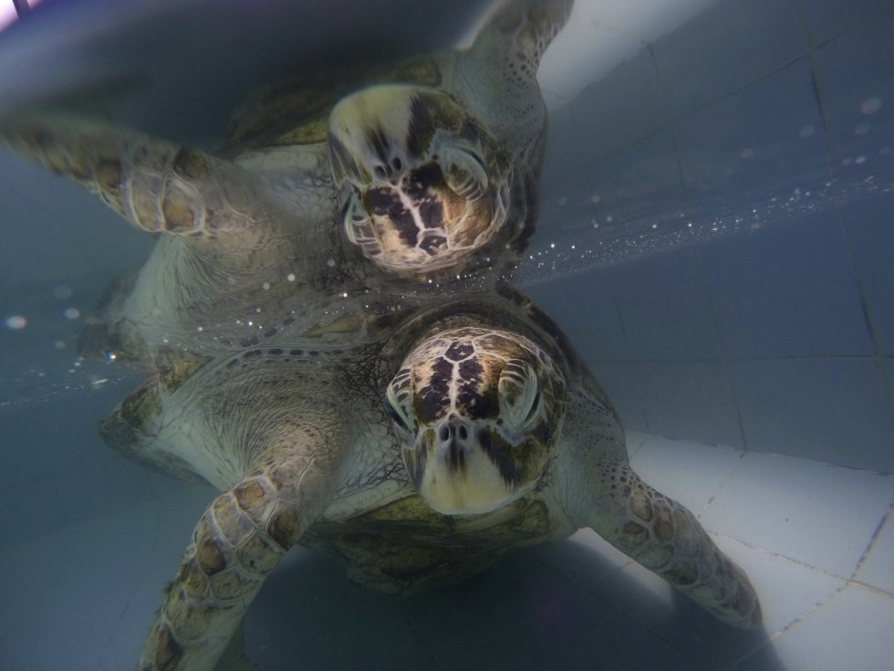 La tortuga Omsin descansa tras la operación en una piscina del Centro de Conservación de Tortugas Marinas en la provincia de Chonburi (Tailandia).