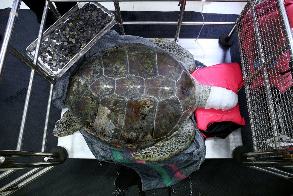 La tortuga descansa al lado de una bandeja repleta de las monedas que le han sido extraídas del estómago.