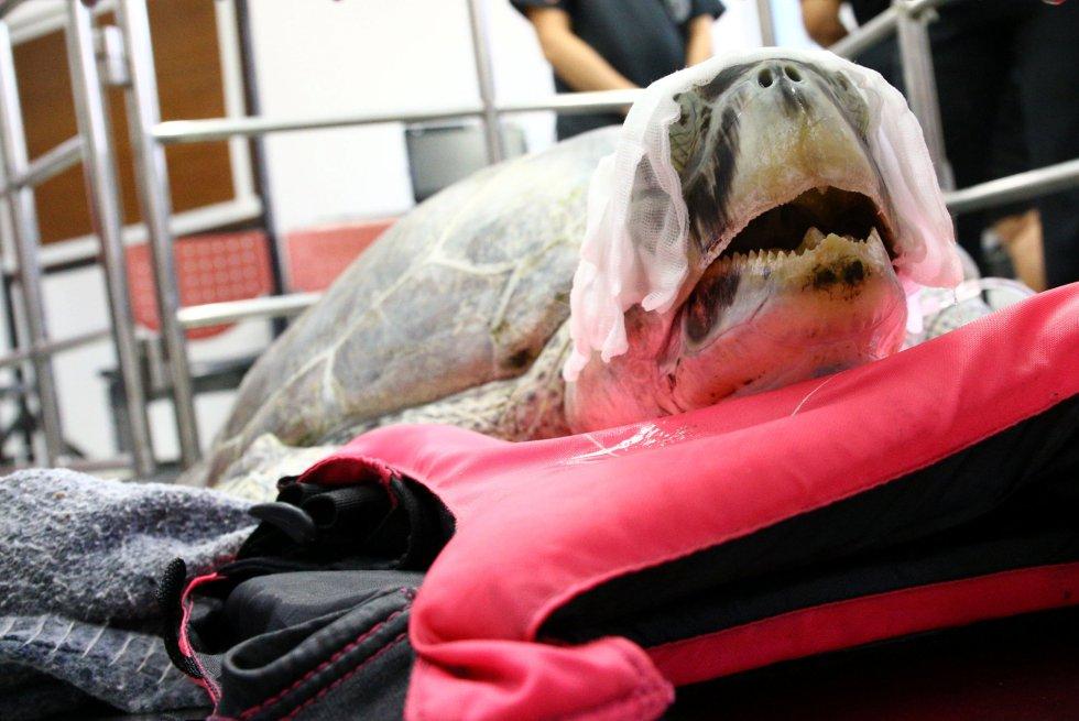 Omsin es una tortuga verde de 25 años que ha tenido que ser intervenida quirúrgicamente en la Universidad de Chulalongkorn al ingerir 1.000 monedas de la fortuna provenientes de turistas.