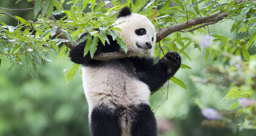 ¿Por qué los osos panda son blancos y negros?