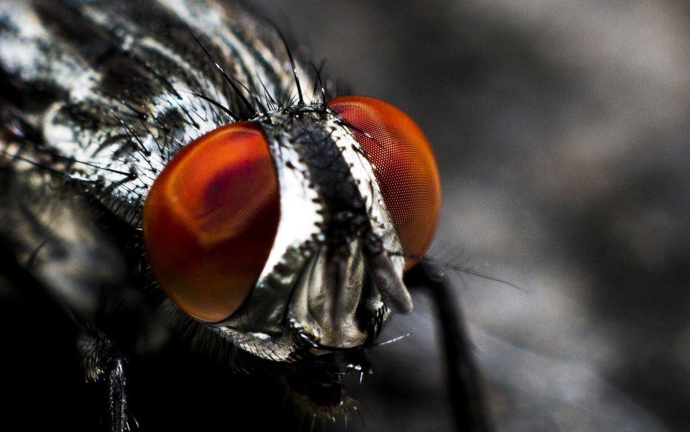 Los insectos pueden percibir movimientos fugaces en un rango de casi 360 grados. No ven, eso sí, como si miraran a través de un caleidoscopio, como su visión ha sido representada artísticamente en el cine. Compuestos de muchas facetas individuales, sus ojos perciben las imágenes como si fueran un mosaico pixelado, pero pueden detectar una gama mayor de colores, la polarización de la luz y mandar señales casi instantáneas a su sistema nervioso gracias a sus fotorreceptores.
