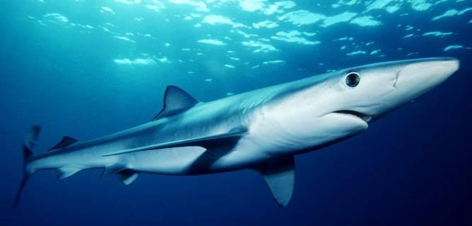 No hay bacteria que pueda penetrar la piel de un tiburón. Su textura denticular, compuesta de miles de nanoescamas, impide que cualquier microorganismo nocivo se pueda adherir a ella y le convierte en un acorazado antiséptico. Su forma de desplazarse por el agua, además, ha sido estudiada por su capacidad hidrodinámica.