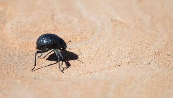 El escarabajo de Namibia, pese a vivir en un clima desértico, nunca pasa sed. Sabe cómo almacenar de manera natural el agua que flota en la atmósfera. Un sistema que parece mágico pero que tiene una explicación sencilla: posee unos pequeños bultos, protegidos por lados cerosos, que atraen el agua de contenida en las brisas húmedas, líquido que después se condensa en su caparazón y se desliza directamente hasta su boca.