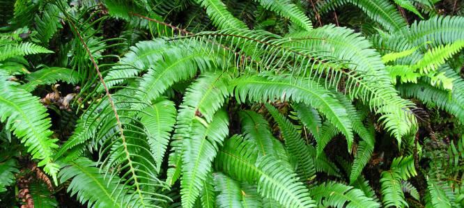La Polystichum munitum, el helecho de espada occidental, es una planta con una estructura peculiar: sus hojas, compuestas de formas fractales, posibilitan un almacenamiento de energía eficiente y una óptima circulación del agua.