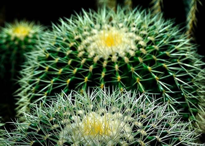 Poblador de los climas más extremos, el cactus se adapta a todo. Los 'cactae' son los vegetales que mejor dosifican el agua; además, sus espinas (son hojas que han evolucionado para minimizar la pérdida de líquido) les protegen de todo animal que quiera extraer su agua. Son también un ejemplo de aprovechamiento de recursos: por la noche el cactus traspira, ya que por el día, cuando tienen que soportar temperaturas que superan los 50 grados, 'elige' retener el agua en su interior.