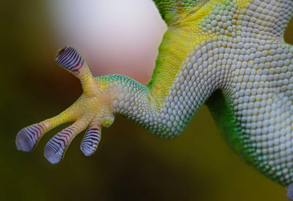 La salamanquesa o 'gecko' no vive bajo las leyes de la gravedad. Por ello, este pequeño reptil, que asciende paredes verticales y se desplaza boca abajo sin inmutarse, ha fascinado con recurrencia a la comunidad científica. Su milagrosa capacidad, aparte de inspirar mitologías (como el trepamuros Spiderman), ha servido para estudiar los mecanismos de agarre y las fuerzas de sujeción. El secreto de la salmanquesa reside en las nanoespátulas que tiene en sus patas. Gracias a las fuerzas de Van der Waalt, unas atracciones de corto alcance entre átomos, los 'geckos' pueden pegarse y despegarse de casi cualquier superficie en cualquier ángulo.
