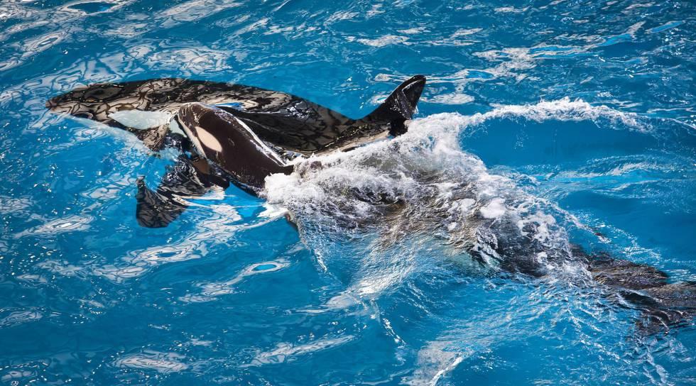Nacida la última orca en cautividad de SeaWorld