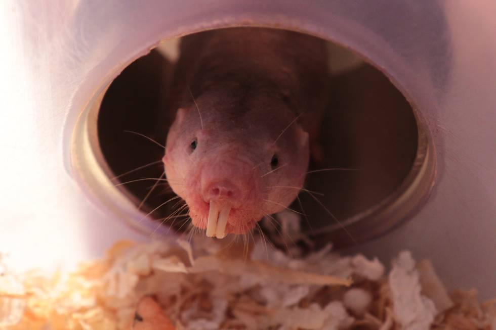 El mamífero capaz de sobrevivir sin oxígeno 18 minutos