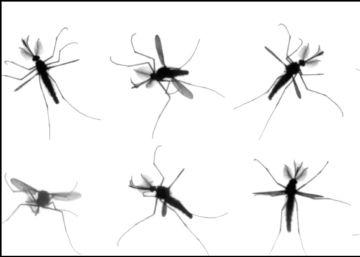 Solucionado el misterio del vuelo de los mosquitos