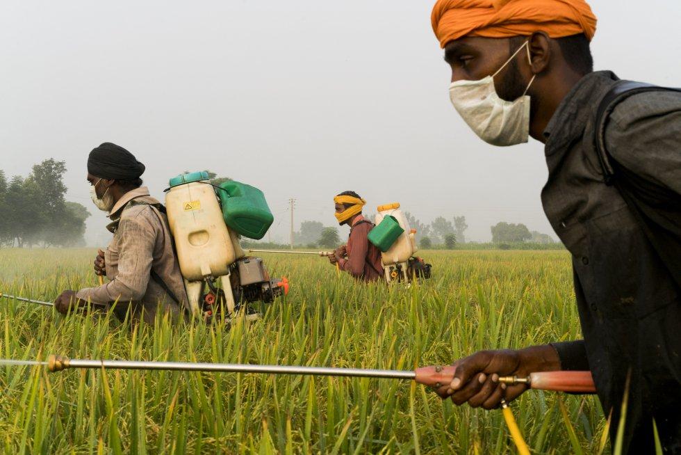 Nachhatar Singh, de 50 años, trabaja como jornalero rociando el arroz basmati con pesticidas e insecticidas a las afueras de Mari Mustafa, Punyab, India.