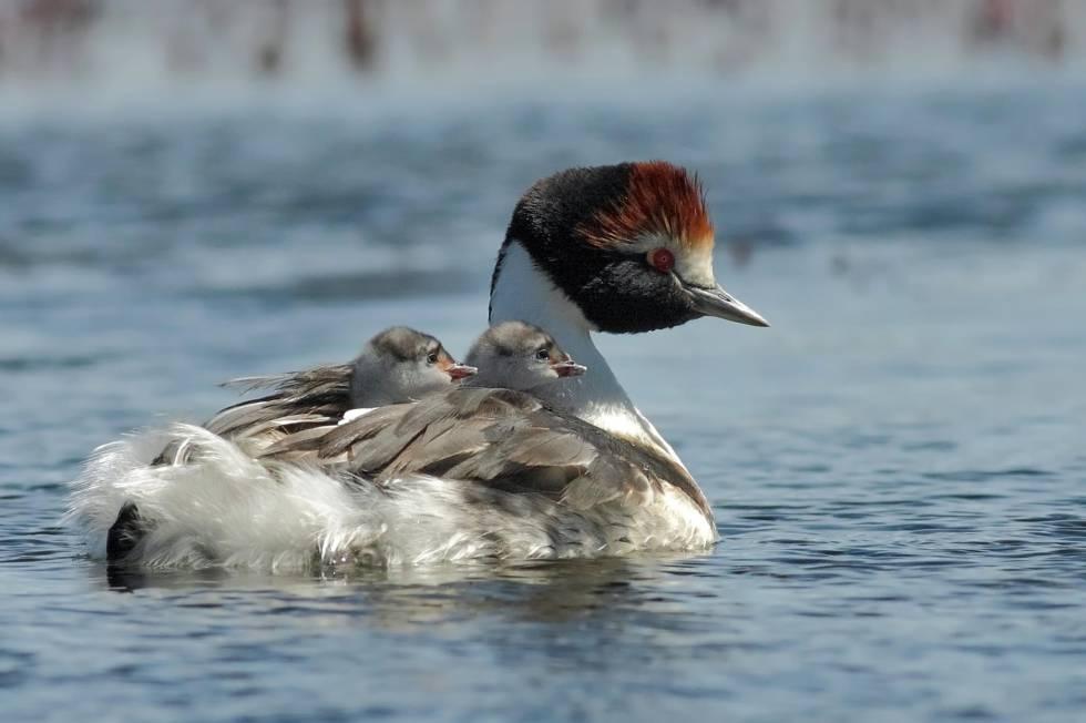 Esta ave está amenazada de muerte por dos presas en Argentina