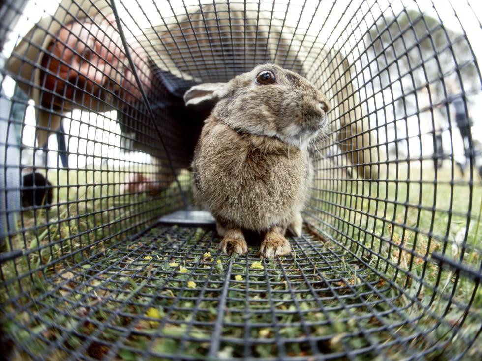 Australia libera un virus letal para arrasar sus poblaciones de conejos
