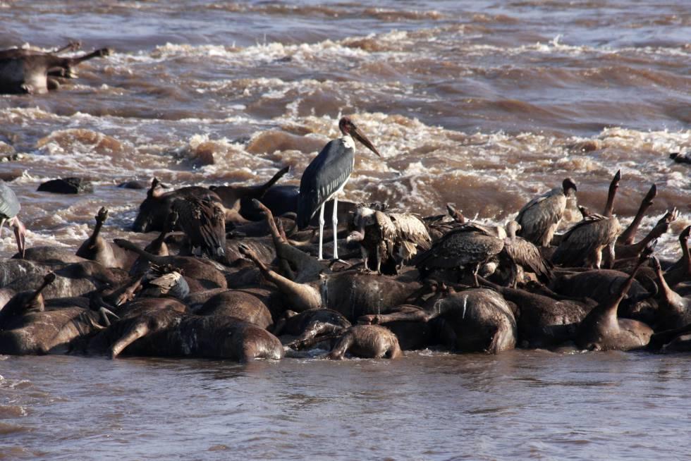 La muerte de miles de ñus da vida al río que los ahoga