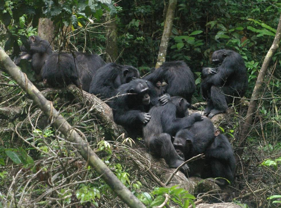 Los chimpancés se sacrifican por los demás como prueba de altruismo