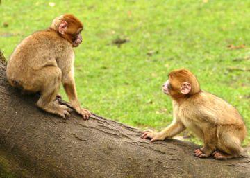 Los monos que pasaron su primer año de vida sin ver ninguna cara