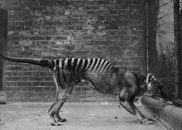 Secretos más allá de la extinción: el tigre de Tasmania