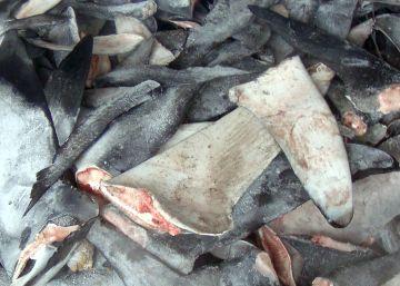 El cartílago de tiburón no solo es inútil contra el cáncer, es algo más