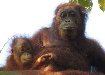 Un estudio alerta del peligro de prohibir el aceite de palma