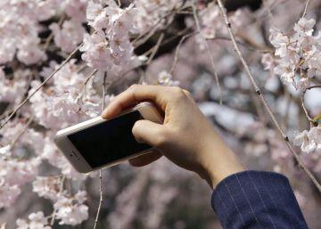 El 'hanami' o la importancia de la floración de los cerezos para los japoneses