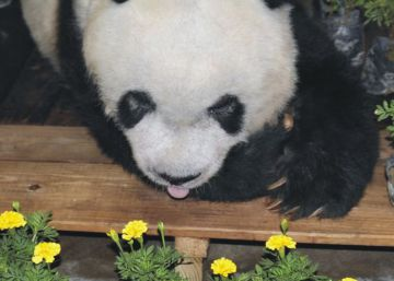China despide al panda más viejo del mundo