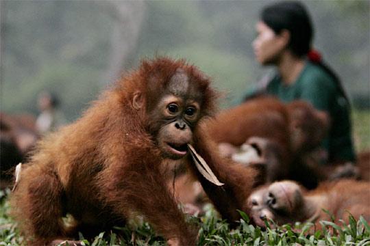 Q Son Los Orangutanes Los orangutanes han sufrido la
