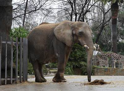 Eres lo que haces lonely elephant 39 could die of sadness 39 for Elephant barcellona