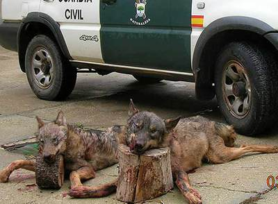 The new wolf hunting management plan in Castilla y León is alarming Spanish