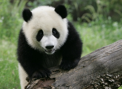 O Panda Pill CIENCIA PARA CHIQUITAJ...