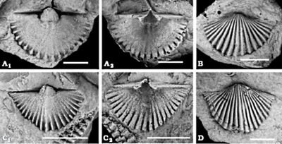 Concha fósil