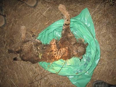 Dos cazadores imputados por la muerte de un lince Lince_muerto