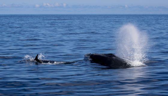 Una ballena azul en canarias sociedad el pa s for Piscina la ballena tenerife