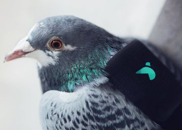 Una ?patrulla? de palomas ayuda a medir la contaminación atmosférica en Londres