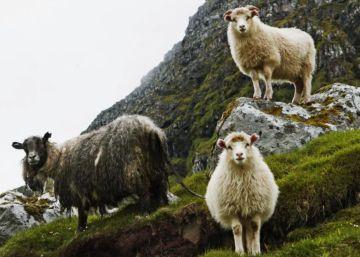 Las islas Feroe colocan cámaras a sus ovejas para crear un mapa del archipiélago