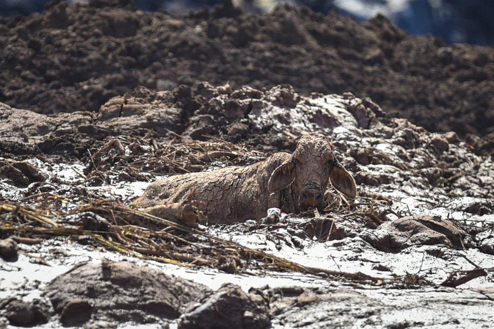 Resultado de imagem para foto de animais na lama de brumadinho