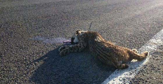 rise in iberian lynx road deaths speeds up protection plans in